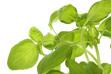 stock-photo-4909668-fresh-green-basil-on-white